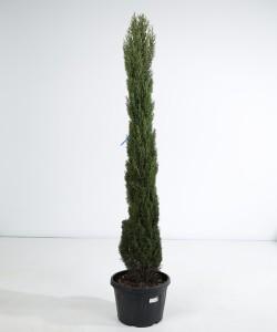 Cupressuss Totem 200 cm
