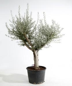 Olijfboom stamomtrek 30cm