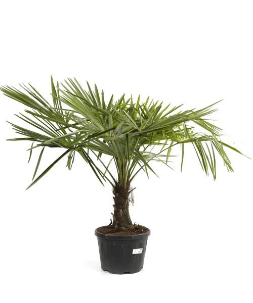 Trachycarpus fortunei 125 cm planthoogte