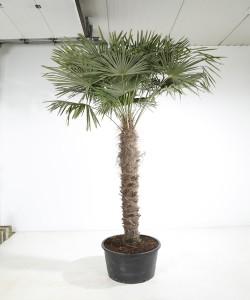 Trachycarpus fortunei 200 cm stamhoogte