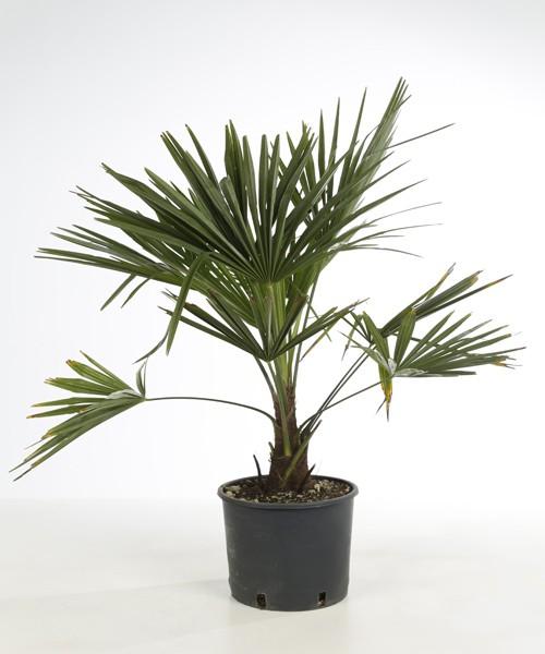 Trachycarpus fortunei 70 cm planthoogte C9L