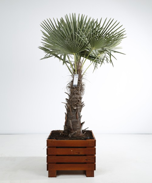 Trachycarpus fortunei kist 60x60