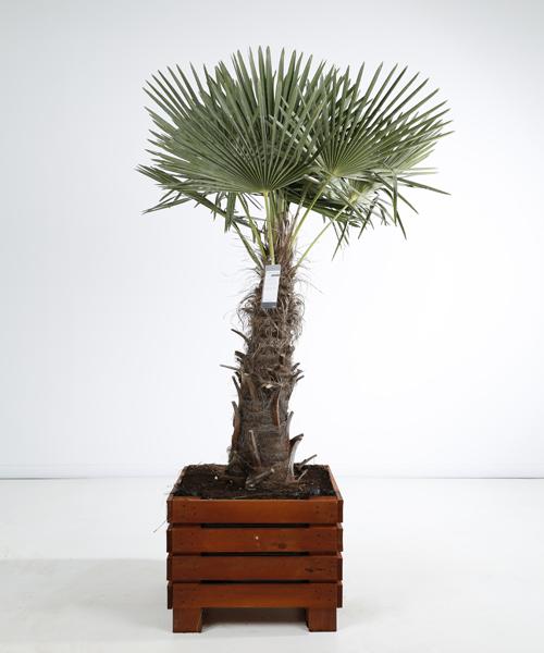 Trachycarpus fortunei kist 60×60