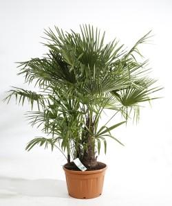 Trachycarpus fortunei meerstam C70L