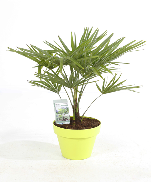 Trachycarpus fortunei p12