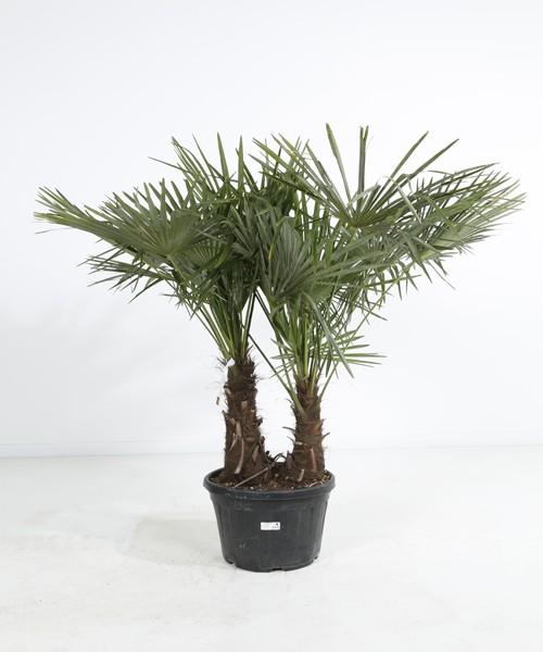 Trachycarpus fortunei tweestam C40L