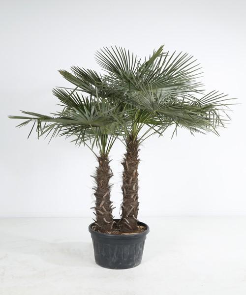 Trachycarpus fortunei tweestam C90L