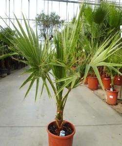 Washingtonia robusta 100cm C7L