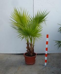 Washingtonia robusta multistam C15L