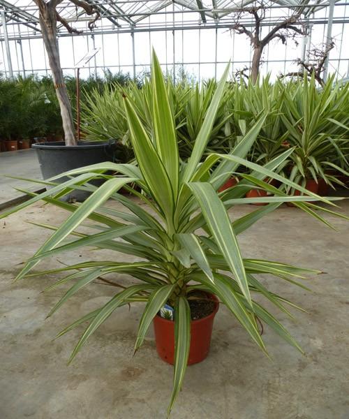 Yucca jewel C5L