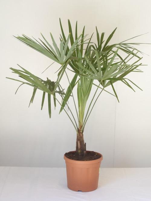 trachycarpus-fortunei-c5l-60-cm-hoog