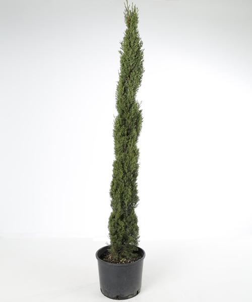 Cupressus s. Totem 140 cm