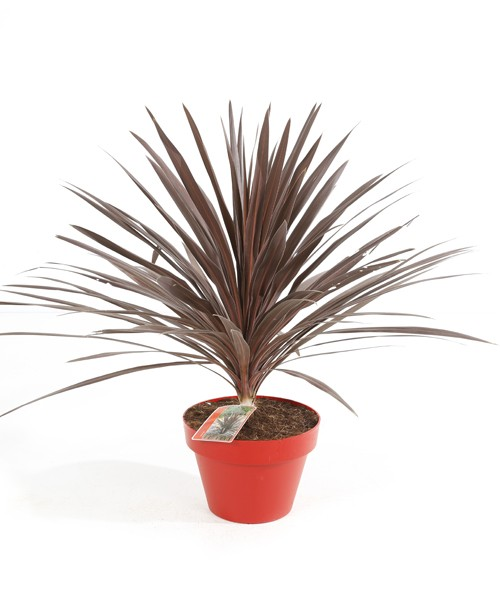 Cordyline aus. Red Star P12