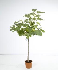 Ficus carica halfstam C15L