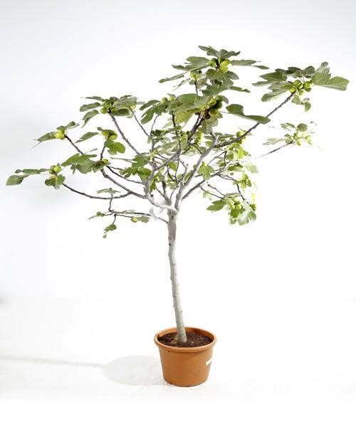Ficus carica halfstam C40L