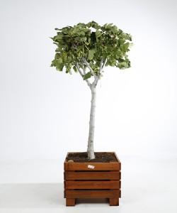 Ficus carica kist 60X60 CM