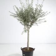 Olfijboom stamomtrek 20cm
