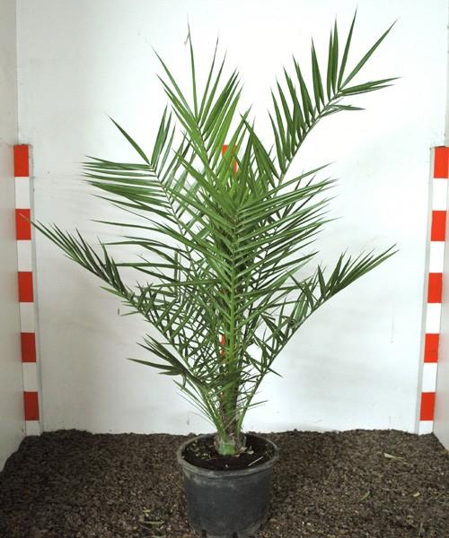 Phoenix canariensis 100cm C5L