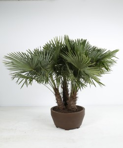 Trachycarpus fortunei Jumbo 200L
