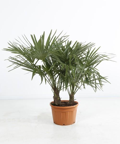 Trachycarpus fortunei tweestam C20L